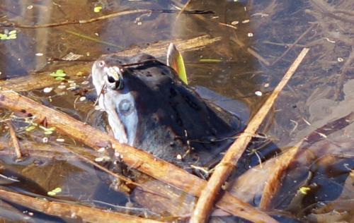 Планинска водна жаба 1