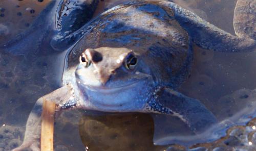 Планинска водна жаба 3