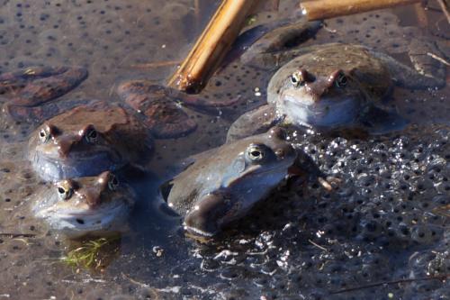 Планинска водна жаба 4