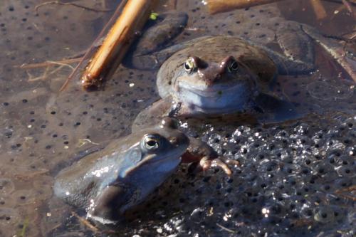 Планинска водна жаба 5