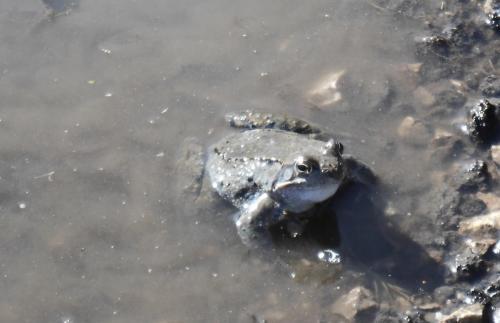 Планинска водна жаба 6