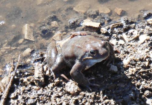Планинска водна жаба 7
