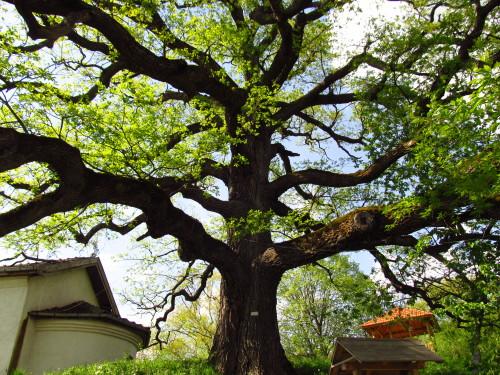 Вековно дърво - манастир - с. Скравена