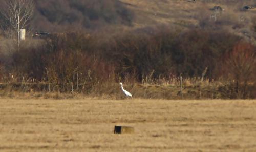 Голяма бяла чапла(Ardea alba)