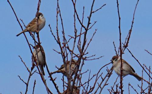 Полски врабчета(Passer motanus)